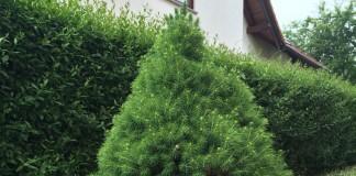 Aus einem ausgepflanzten Weihnachtsbaum im Topf wurde eine stattliche Zuckerhutfichte.