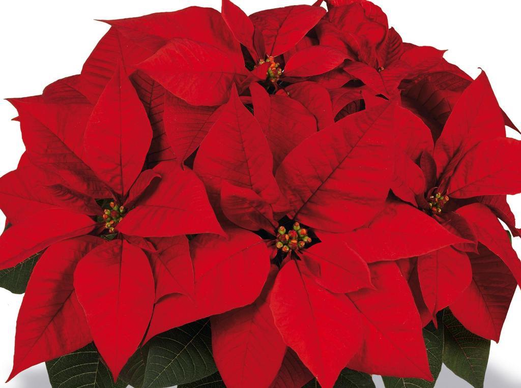 Den Weihnachtsstern gibt es in vielen Farben - hier ein Prachtexemplar in klassischem Rot (Foto: Dehner)