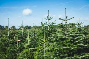 Bei immer mehr Händlern können Sie Ihren Weihnachtsbaum online bestellen (Foto: Meine Tanne)