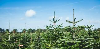 Bei immer mehr Händlern können Sie Ihren Weihnachtsbaum bestellen (Foto: Meine Tanne)