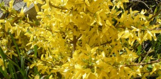 Wenn Sie am 4. Dezember Barbarazweige schneiden (zum Beispiel Goldglöckchen), dürfen Sie sich auf Blütenpracht an Weihnachten freuen.
