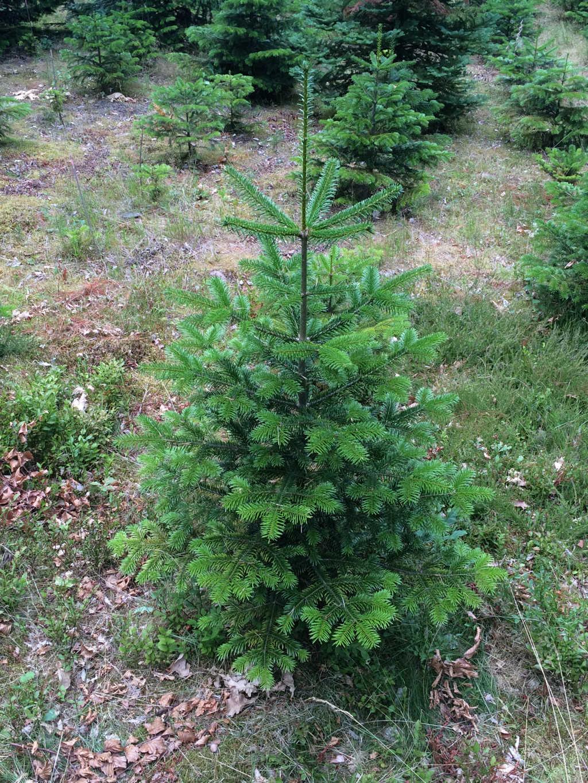 Nordmanntanne Weihnachtsbaum.Nordmanntanne Kaufen Der Beliebteste Weihnachtsbaum