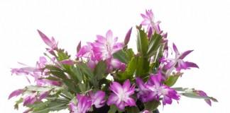 Der Weihnachtskaktus (Schlumbergera) zählt neben dem Weihnachtsstern zu den Blüten-Highlights im Winter (Foto: pflanzenfreunde.de)