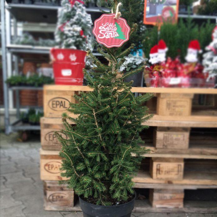 little santa charmanter weihnachtsbaum im topf o du. Black Bedroom Furniture Sets. Home Design Ideas